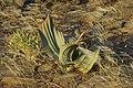 Welwitschia mirabilis - Vallée de l' Aba Huab.jpg