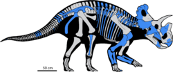 Wendiceratops skeletal reconstruction.PNG
