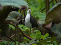 White-breasted Waterhen 5430.jpg