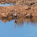 White-faced heron Burke River Boulia Queensland P1030904.jpg
