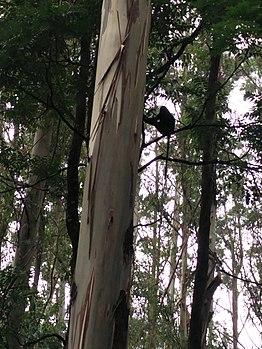 White-headed capuchin at Manjolai.jpg