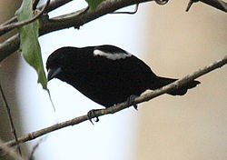 White-shouldered Tanager.jpg