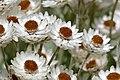 White Everlasting (Syncarpha argyropsis) flowers (30104151560).jpg