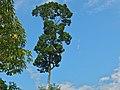 White Seraya (Parashorea malaanonan) (Dipterocarpaceae) (8080071153).jpg
