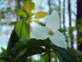 White Trillium (Trillium grandiflorum).png