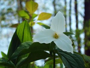 A white trillium macro taken at Valens Conserv...