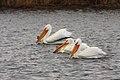White pelicans (9154174840).jpg