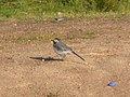 White wagtail at Mali lag, Botevgrad, Bulgaria (crop).jpg