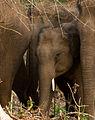 Wild Elephant by N A Nazeer.jpg