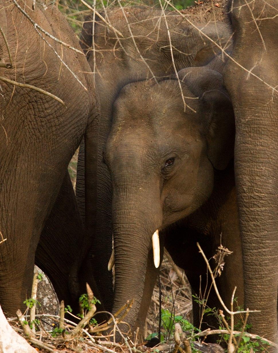 Wild Elephant by N A Nazeer