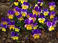 Wilde Stiefmütterchen (Viola tricolor) - hms(1).jpg