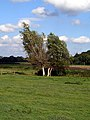 Willows near Brownsmill Farm - geograph.org.uk - 246121.jpg