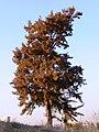 Wind-Blown Pine אורן סחוף-רוח - panoramio.jpg