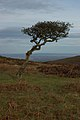 Windswept tree in Somerset.jpg
