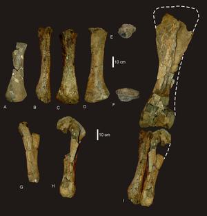 Wintonotitan - Arm bones