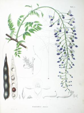 Chinesische Wisteria (Wisteria sinensis), Illustration