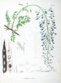 Wisteria sinensis SZ44.png