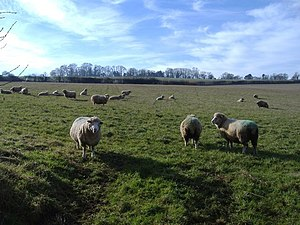 English: Woolly bullies This is our field - right?