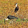 Wooly-necked Storks.jpg