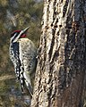 Yellow-bellied Sapsucker (4279792280).jpg