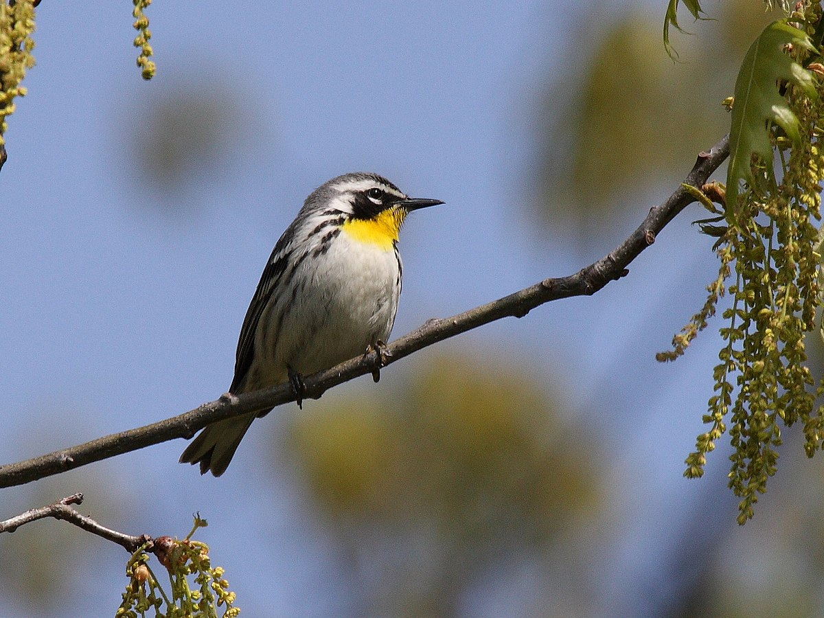 Yellow Throated Warbler Wikipedia