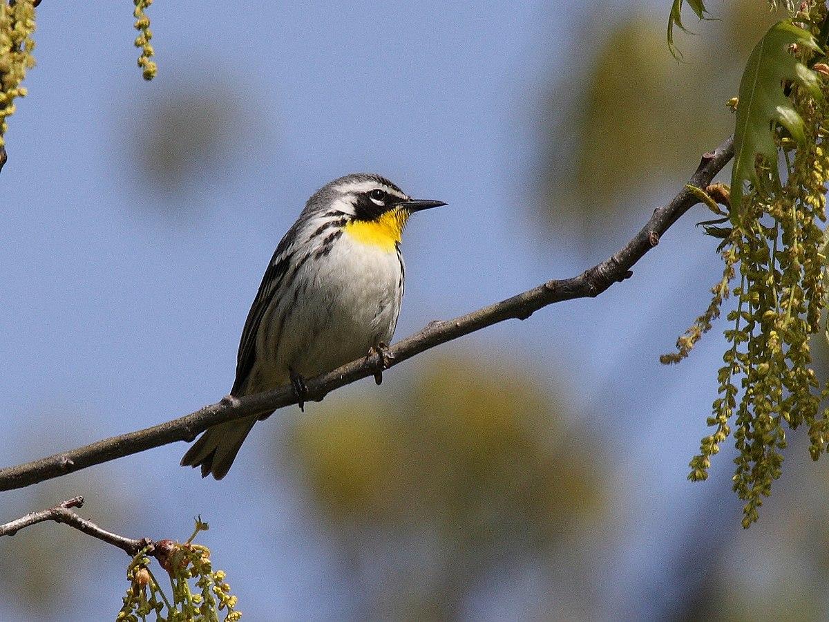 Yellow Throat Warbler 92