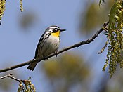 Yellow-throated Warbler 2.jpg