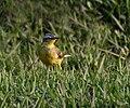 Yellow Wagtail (Motacilla flava) near Hodal W IMG 6302.jpg