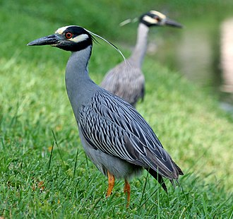 Yellow-crowned night heron - At a pond in Tarpon Springs, Florida