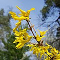 Yellow flowers (20180407 103250 1JC) (41454520291).jpg