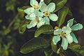 Yesil blossom photos sekiller photography tebiet cicekler svln4821.jpg
