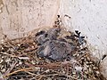 Young Domestic pigeon.jpg