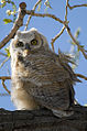 Young Great Horned Owl (4819455656).jpg