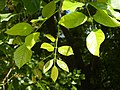 Young leaves of Pongamia.jpg