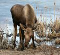 Young moose with the munchies near Point Woronzof, Anchorage, Alaska.jpg