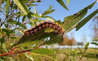 Haploa confusa - Image: Younger Haploa Confusa Larva Back View