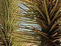 Yucca brevifolia (11004579196).jpg