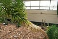 Yucca brevifolia 17zz.jpg