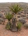 Yucca schidigera 15.jpg