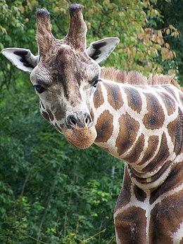 Rotschild-zsiráf – Wikipédia