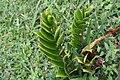 Zamioculcas zamiifolia 9zz.jpg