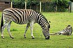 Zebra - Cotswold Wildlife Park (28959177040).jpg