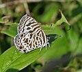 Zebra Blue (Leptotes plinius) in Hyderabad, AP W IMG 9553.jpg
