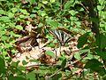Zebra Swallowtail (14337613302).jpg