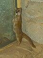Zoo Praha, Cynictis penicillata, 4.jpg