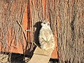Zoo des 3 vallées - Suricate - 2015-01-02 - i3266.jpg