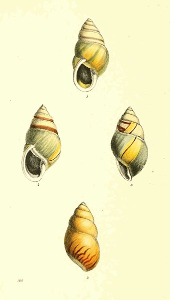 Zoological Illustrations Volume III Plate 166.jpg