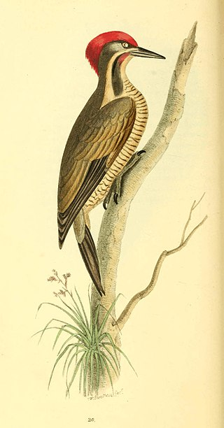 Zoological Illustrations Volume I Plate 20.jpg