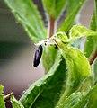 (0893) Mompha epilobiella on Great Willowherb (28081838520).jpg