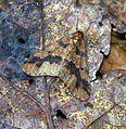 (1935) Mottled Umber (Erannis defoliaria) - Flickr - Bennyboymothman.jpg